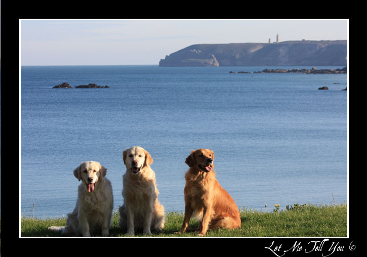 golden retriever bretagne